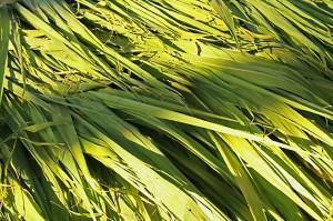 Sugarcane leaves India