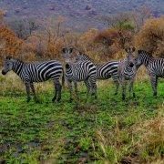 Zebras at Akagera National Park, Kayonza, Rwanda